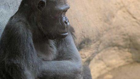 The Erie Zoo's lowland gorilla Samantha, left, shares