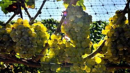 Sauvignon blanc grapes growing on the grounds of