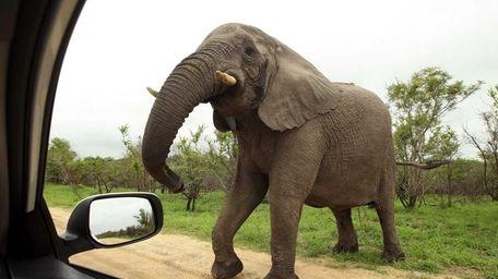 An elephant comes toward a car for a