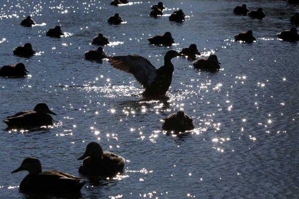 Ducks on Argyle Lake in Babylon Friday. (Feb.