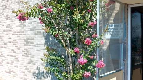 """Crape myrtles, known for years as the """"lilacs"""