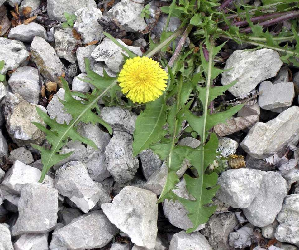 Dandelions are a tasty addition to salads.