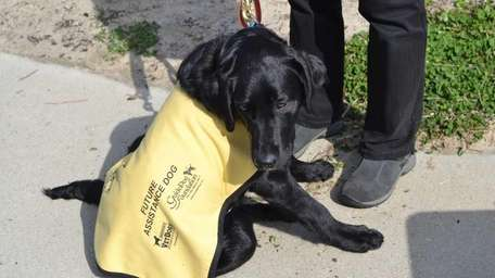 A Labrador in training from the Guide Dog