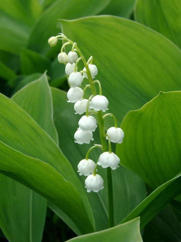 Flowering lily of the valley.