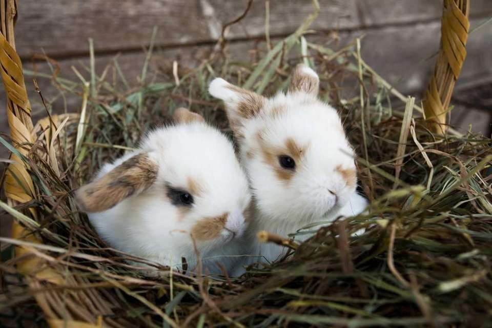 A basket with two baby Holland Lop bunny