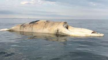 This right whale carcass was found off Long