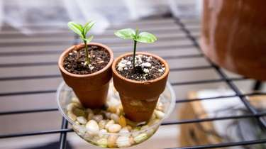 Seedlings, a grocery store lemon plant, left, and