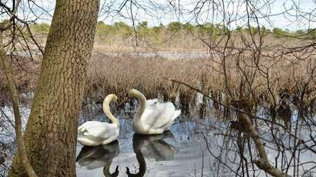 Swans at the Carmans River in South Haven