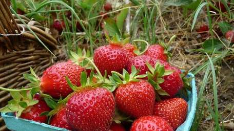 Pick your own berries at Patty's Berries &