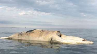 This right whale carcass was found Monday off