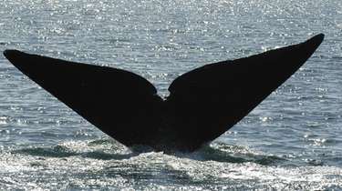 """Snake Eyes,"" a North Atlantic right whale, raises"
