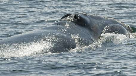 """""""Snake Eyes,"""" a North Atlantic right whale, swims"""