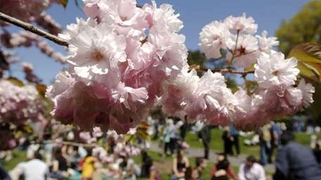 Cherry blossoms bloom as a crowd enjoys the