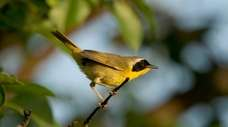 Warblers, like the common yellowthroat warbler, are among