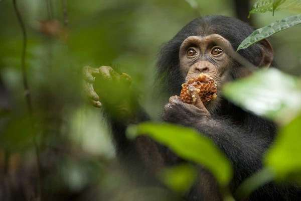 Oscar the chimpanzee eats a honeycomb in Disney's