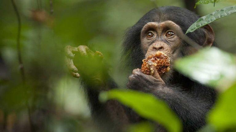 Oscar the chimpanzee eats a honeycomb in Disney's