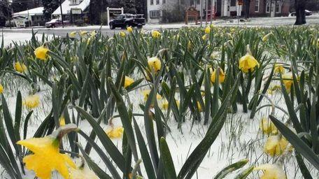 Snow blankets daffodils in Saranac Lake, N.Y. as