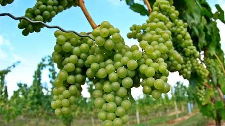 Grapevines hang with ripening grapes at Bedell Cellars,