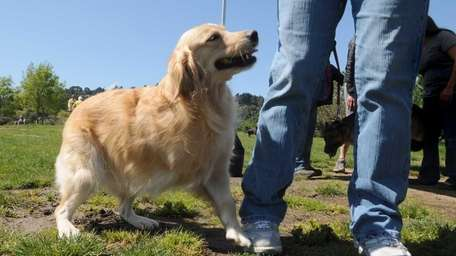 Shelby, a 5-year-old Golden Retriever, walks with her