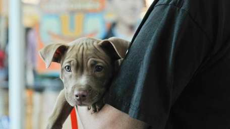 A pit bull named Winnie at the Little