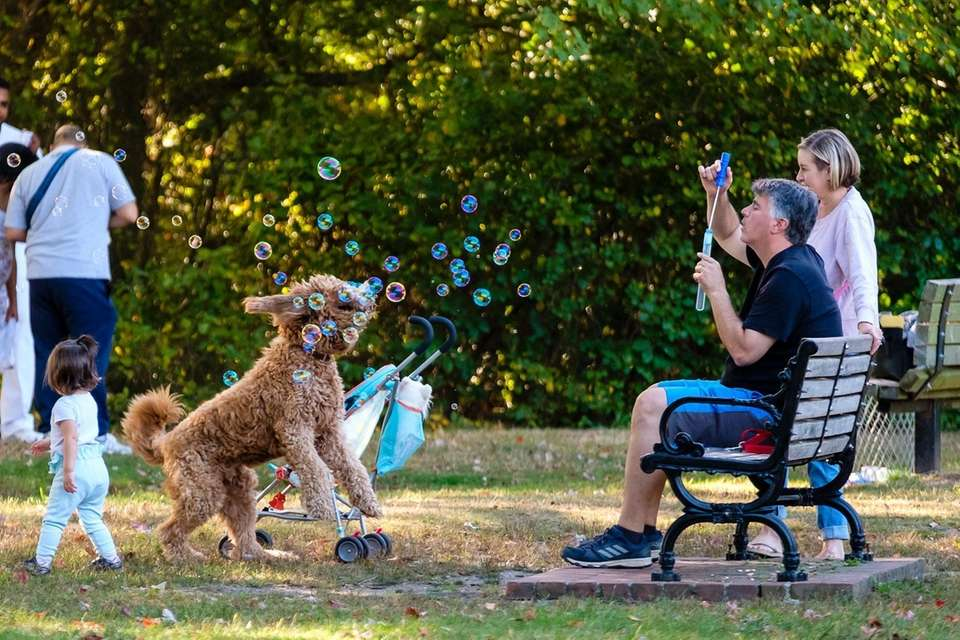 Max, a 2year old Golden Doodle chases bubbles