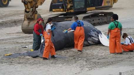 Officials examine the whale's carcass Tuesday on the