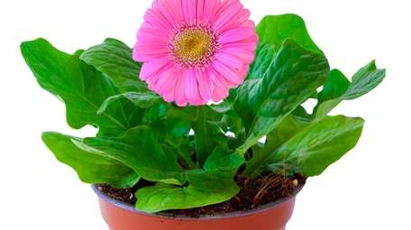 Gerbera daisies cleanse the air of benzene, a