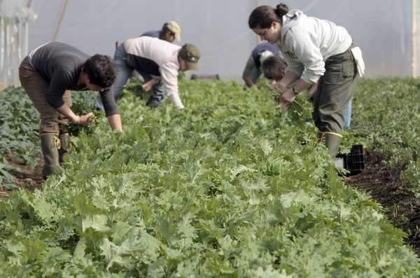 Workers harvest fresh greens for Good Eats CSA