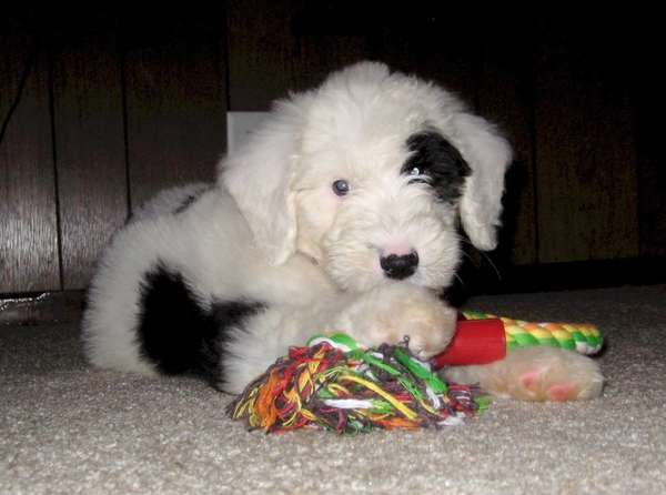 Bubbles, a 9-week-old sheepadoodle, submitted by reader Herb