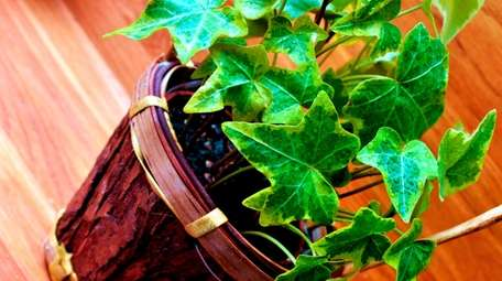 English ivy is among the best plants for