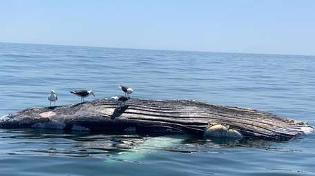 A dead humpback whale floats six miles offshore