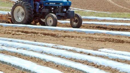 A farm worker prepares a tomato field for
