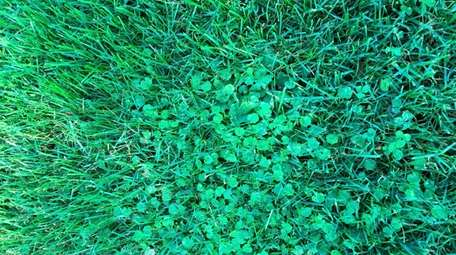 Ground ivy, or creeping Charlie, is taking over
