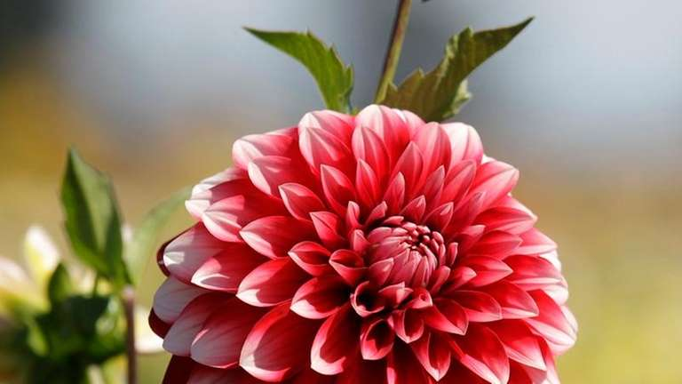 June is dahlia-planting time.