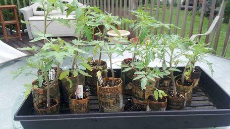 Reader Tina Valetutti-Kraemer's tomato plants.
