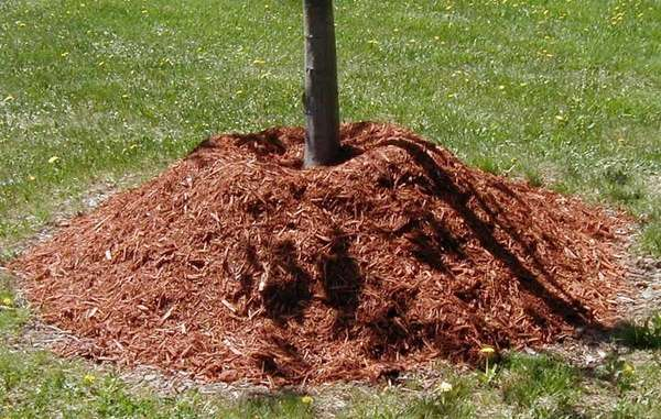 The practice of volcano mulching, mounding mulch up