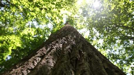 A look up the 169-foot tulip tree near