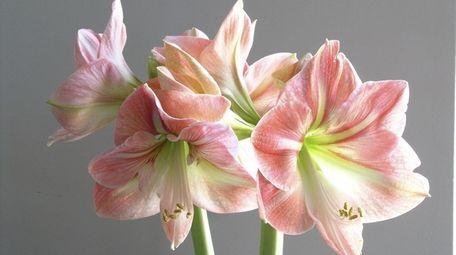 Pot up amaryllis and paperwhites on Nov. 1