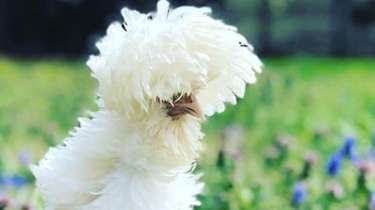 Mopsy, a frizzled bantam white Polish hen, has