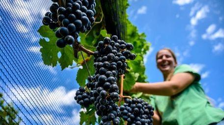 Amanda Gardner, grape program assistant, checking the vines