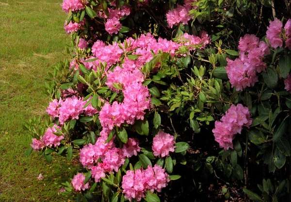 Rhododendron shrubs transplant fairly easily due to shallow