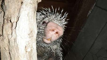 A porcupine at the