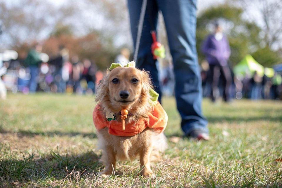 Teenie Weenie dressed as a pumpkin on Oct.