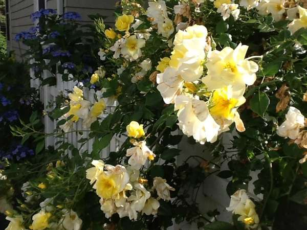 These Limoncello roses bloom all summer long. (June