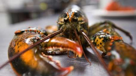 A live lobster in the kithcen at Four