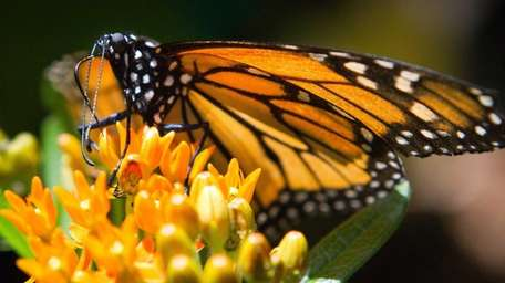 A Monarch butterfly perches on a lantana flower