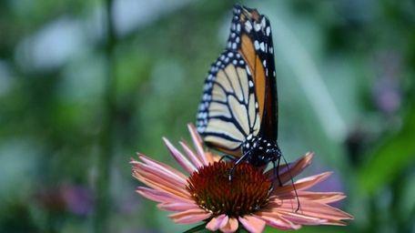 A monarch butterfly rests on a flower inside