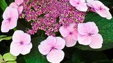 A beautiful example of a pink Lacecap Hydrangea