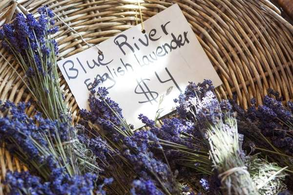 Lavender is cut and put into bunch and