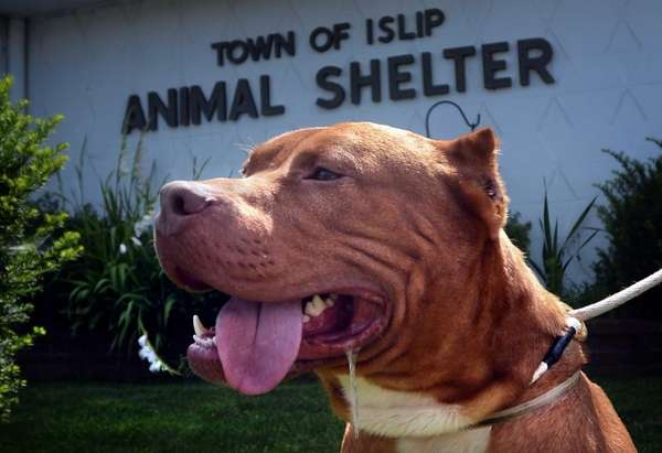 """Two year old Pit Bull """"King Kong"""" in"""